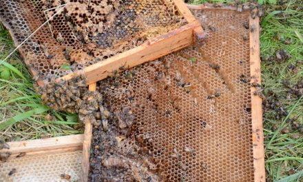 Mehiläistarhaajat alkavat väsyä karhuvahinkoihin