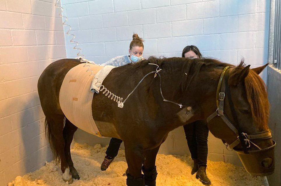 Ravikuningas Evartti toipuu leikkauksesta Viikin eläinsairaalassa